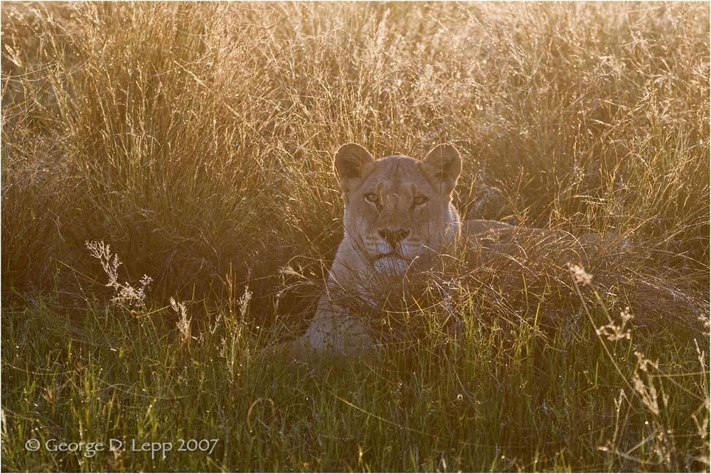 Lion male, Botswana. George D. Lepp 2007 M-CA-LI-0033