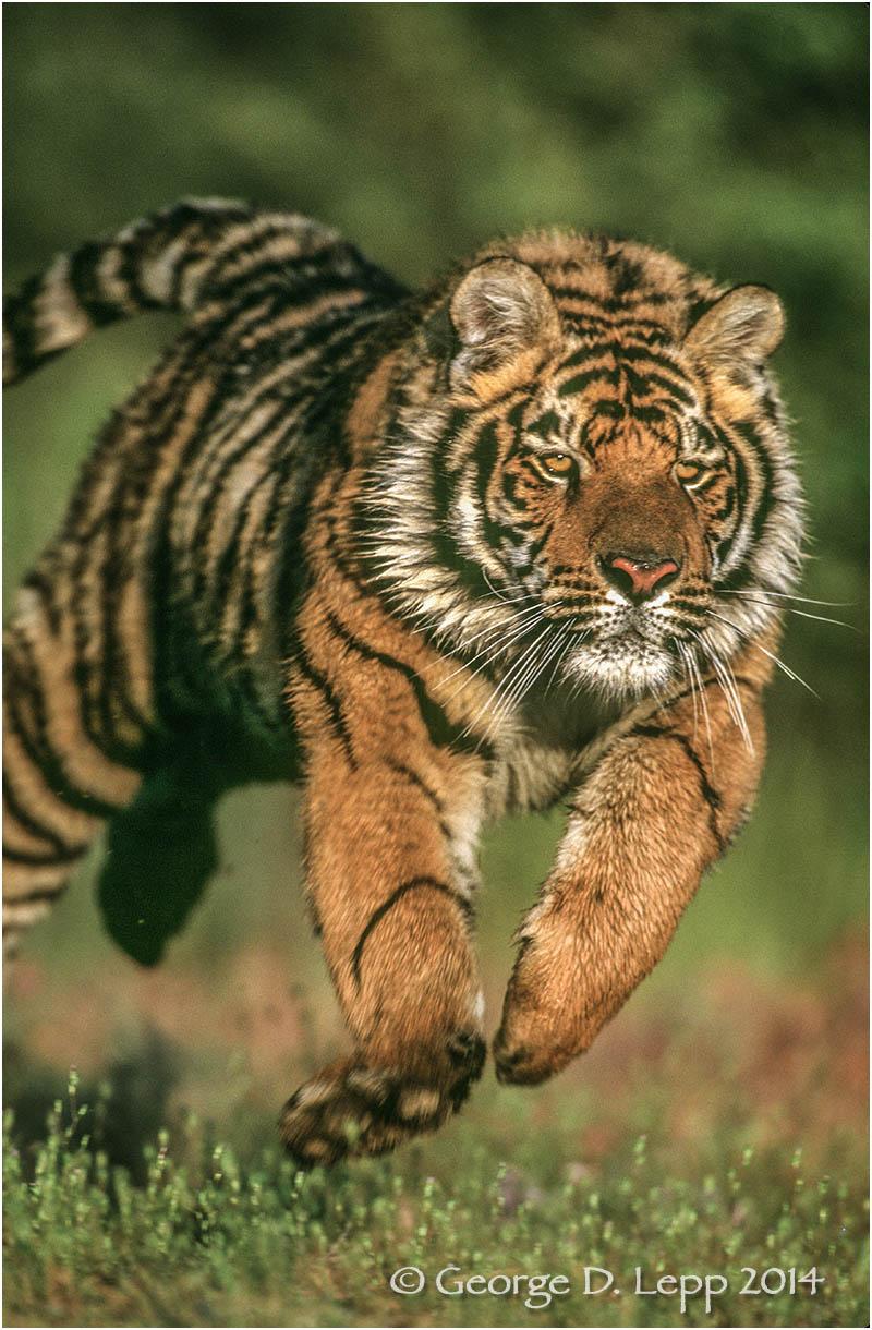 Tiger (captive). © George D. Lepp 2014 M-CA-TI-0002