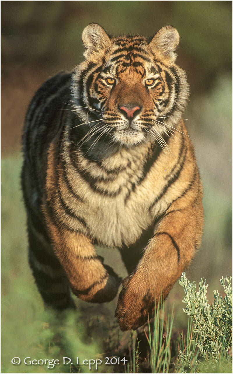 Tiger (captive). © George D. Lepp 2014 M-CA-TI-0003