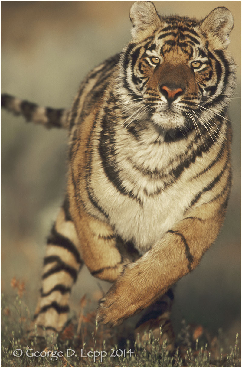 Tiger (captive). © George D. Lepp 2014 M-CA-TI-0008