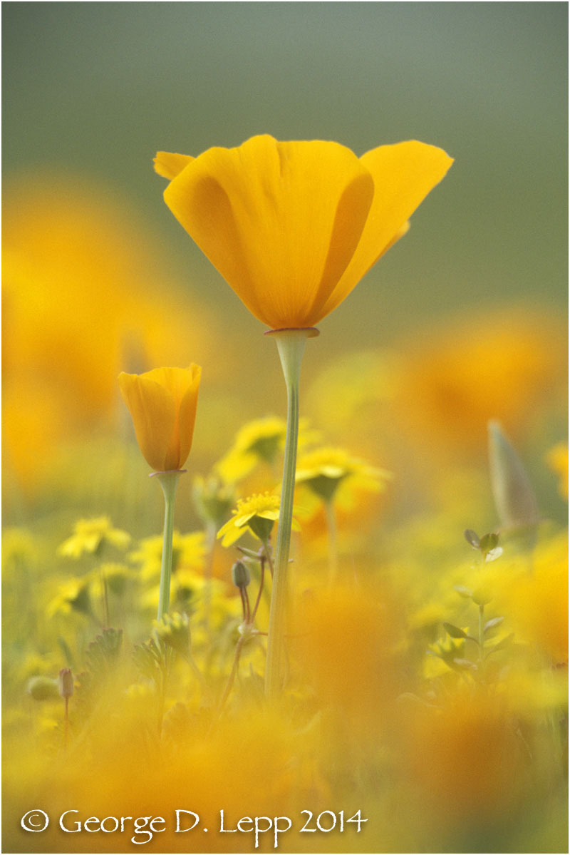 California Poppy.     © George D. Lepp 2014  PW-PO-0072