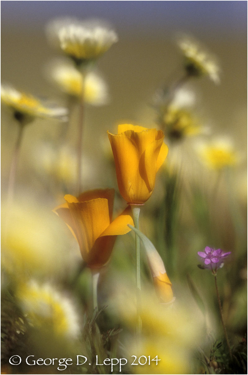 California Poppy.     © George D. Lepp 2014  PW-PO-0082