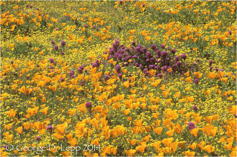 California Poppy.     © George D. Lepp 2014  PW-PO-0225