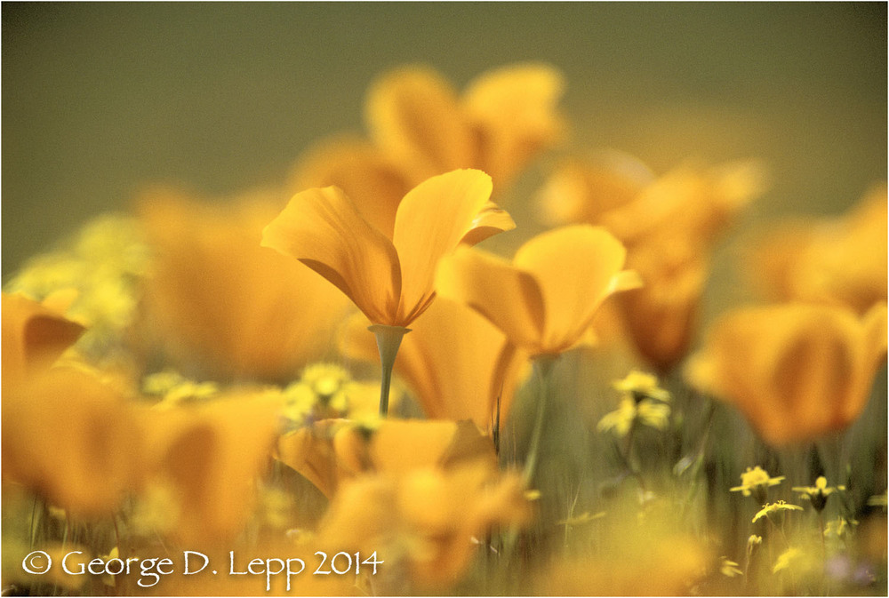 California Poppy.     © George D. Lepp 2014  PW-PO-0237