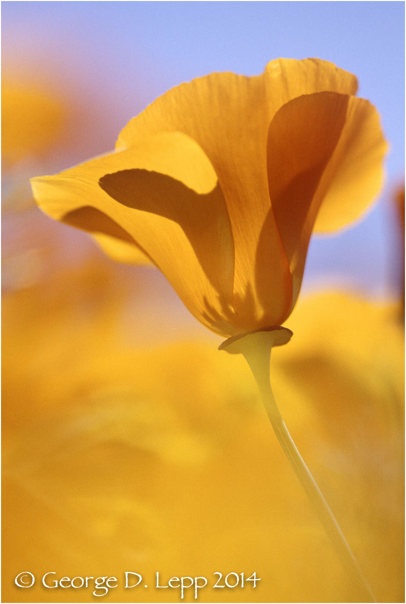 California Poppy.     © George D. Lepp 2014  PW-PO-0211