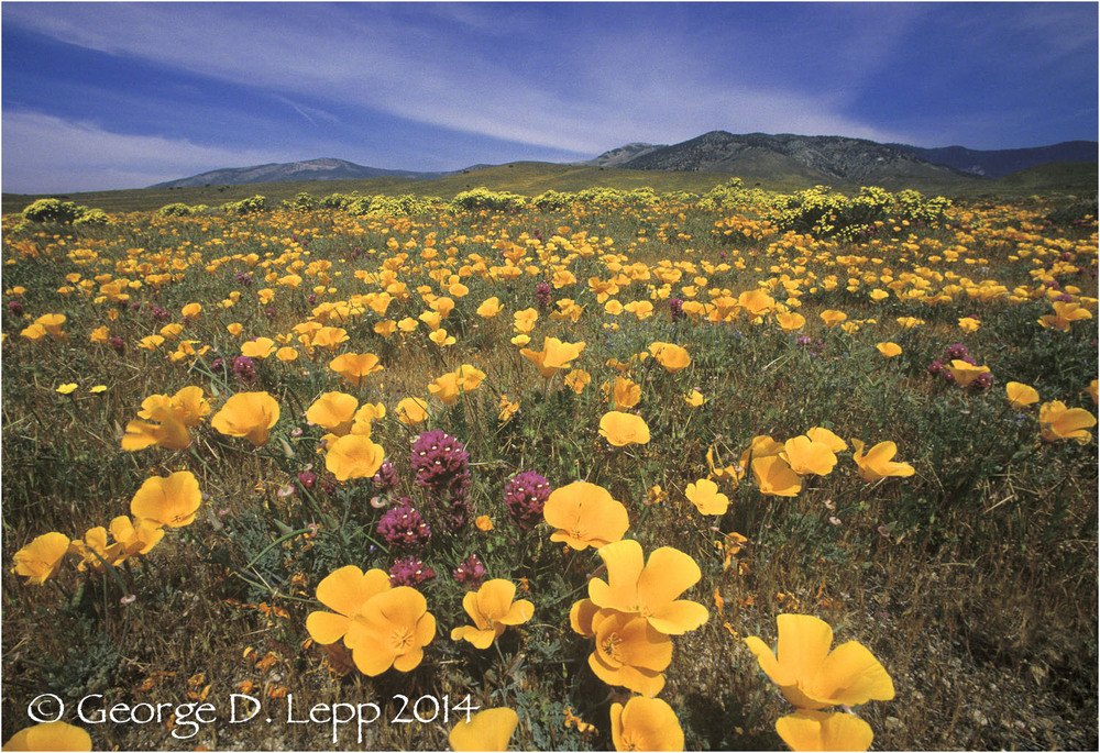 California Poppy.     © George D. Lepp 2014  PW-PO-0256