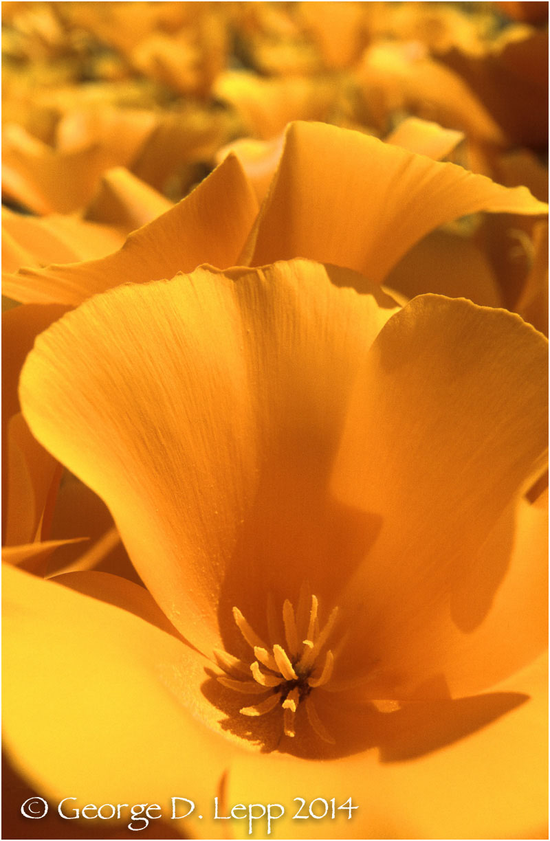 California Poppy.     © George D. Lepp 2014  PW-PO-0047