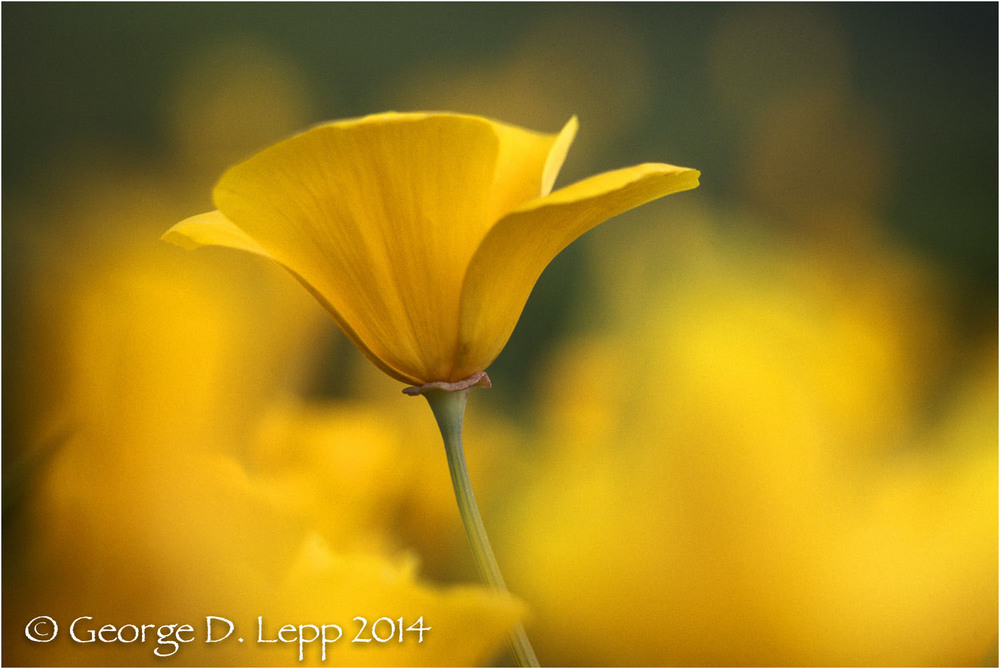 California Poppy.     © George D. Lepp 2014  PW-PO-0260