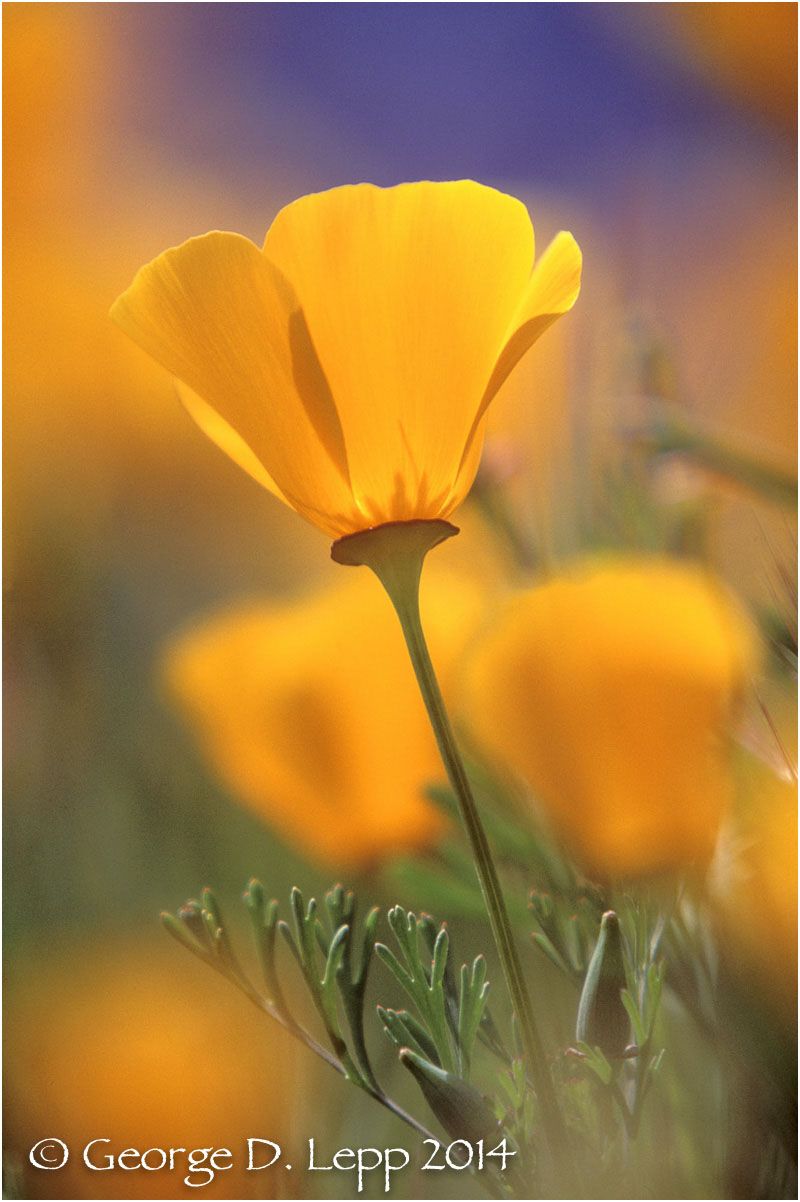 California Poppy.     © George D. Lepp 2014  PW-PO-0213