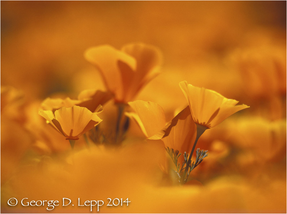 California Poppy.     © George D. Lepp 2014  PW-PO-0344