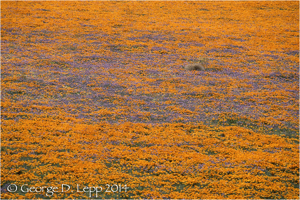 California Poppy.     © George D. Lepp 2014  PW-PO-0247