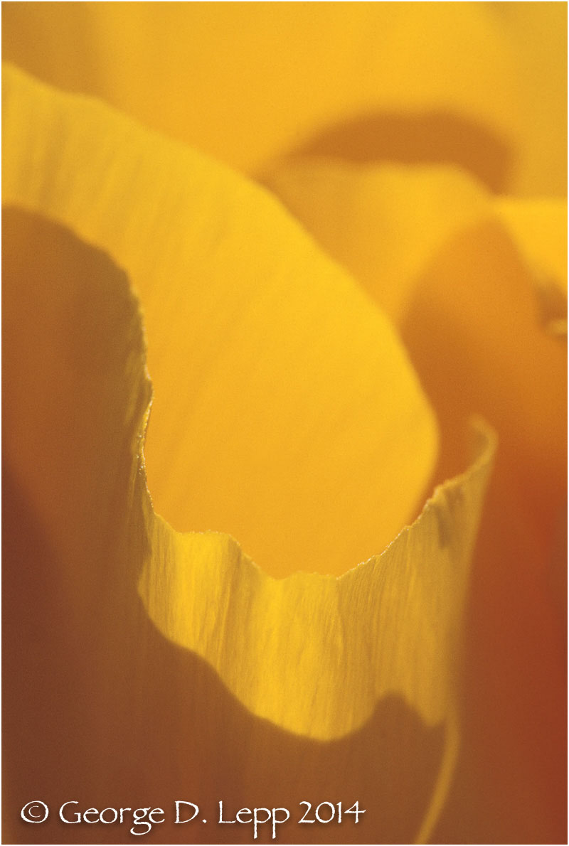 California Poppy.     © George D. Lepp 2014  PW-PO-0088