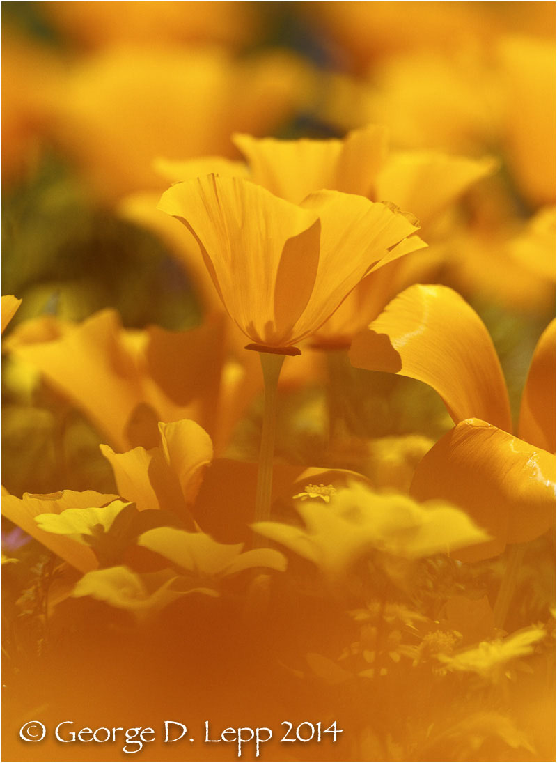 California Poppy.     © George D. Lepp 2014  PW-PO-0167