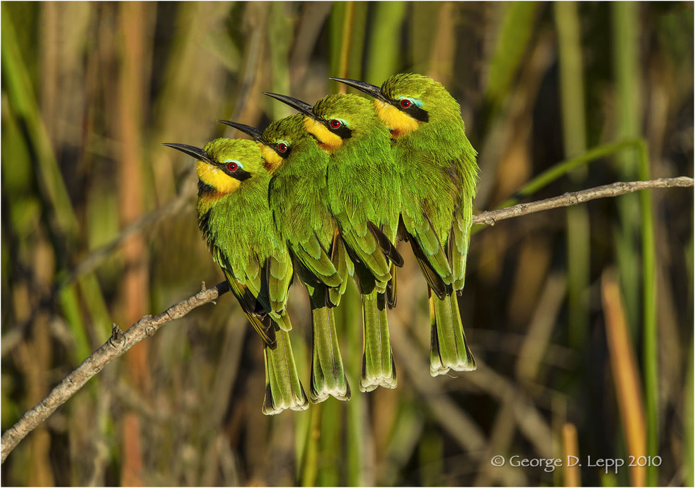 Little Bee Eaters, Botswana. © George D. Lepp 2010  B-BE-LI-0004
