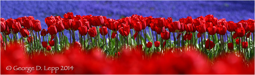 Tulips, Holland. © George D. Lepp 2014  PG-TU-0012