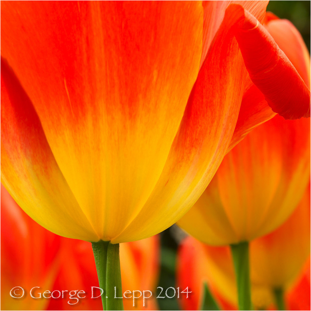 Tulips, Holland. © George D. Lepp 2014  PG-TU-0093