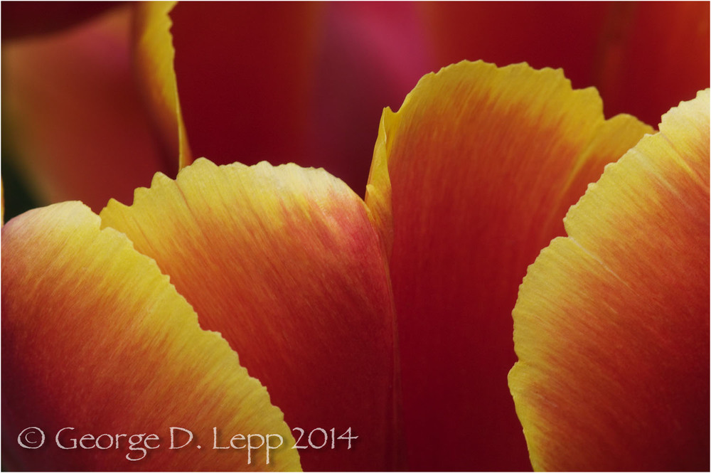 Tulips, Holland. © George D. Lepp 2014  PG-TU-0209