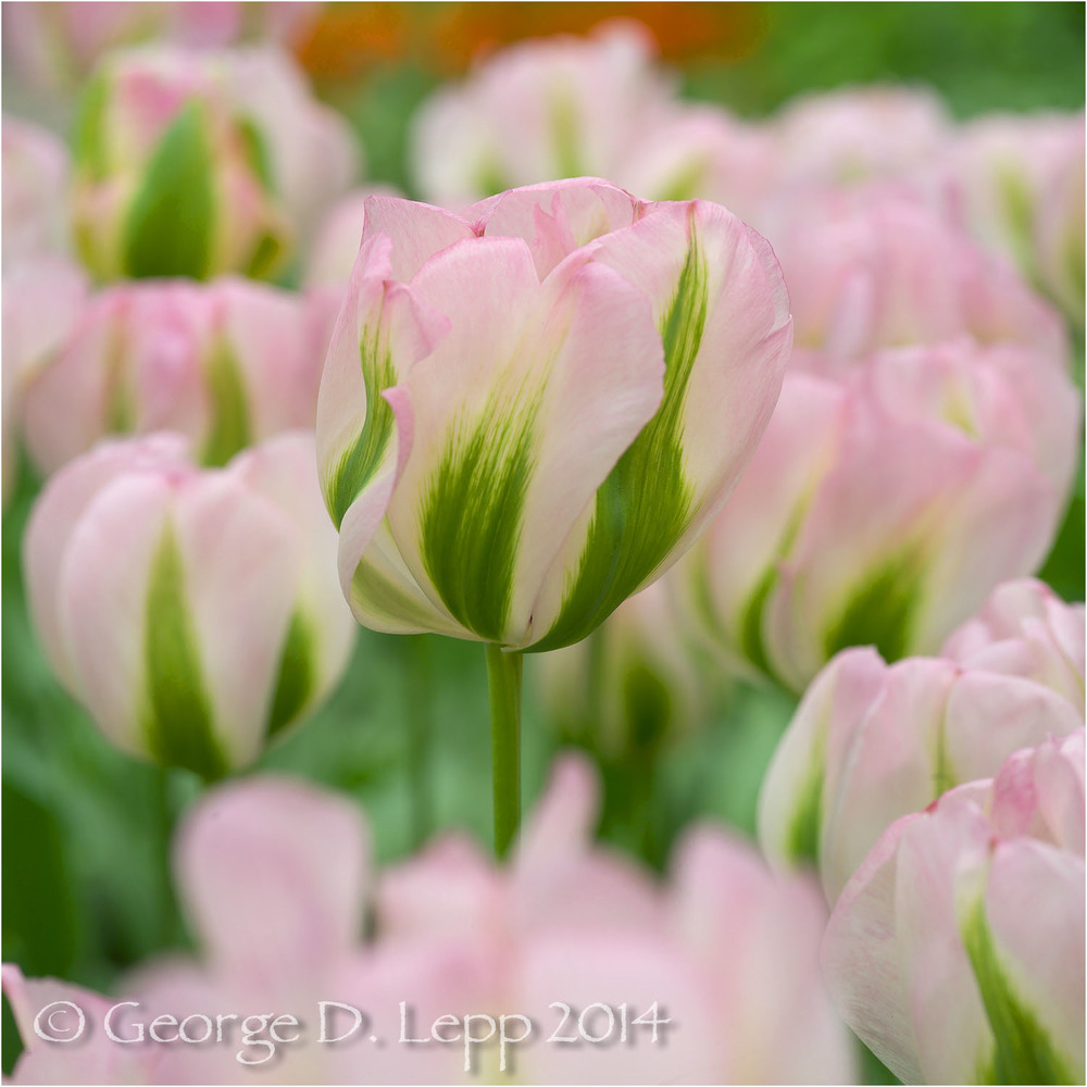 Tulips, Holland. © George D. Lepp 2014  PG-TU-0194