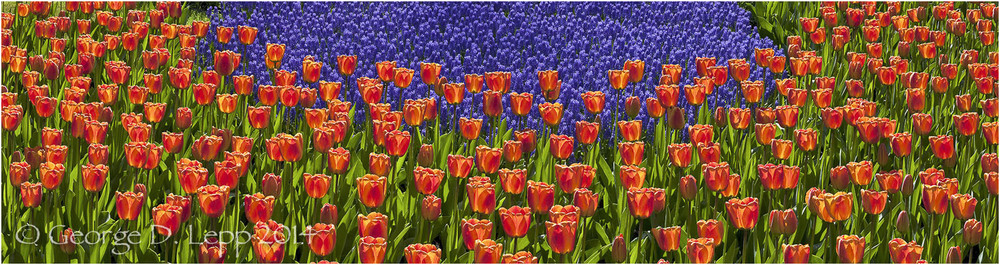 Tulips, Holland. © George D. Lepp 2014  PG-TU-0328