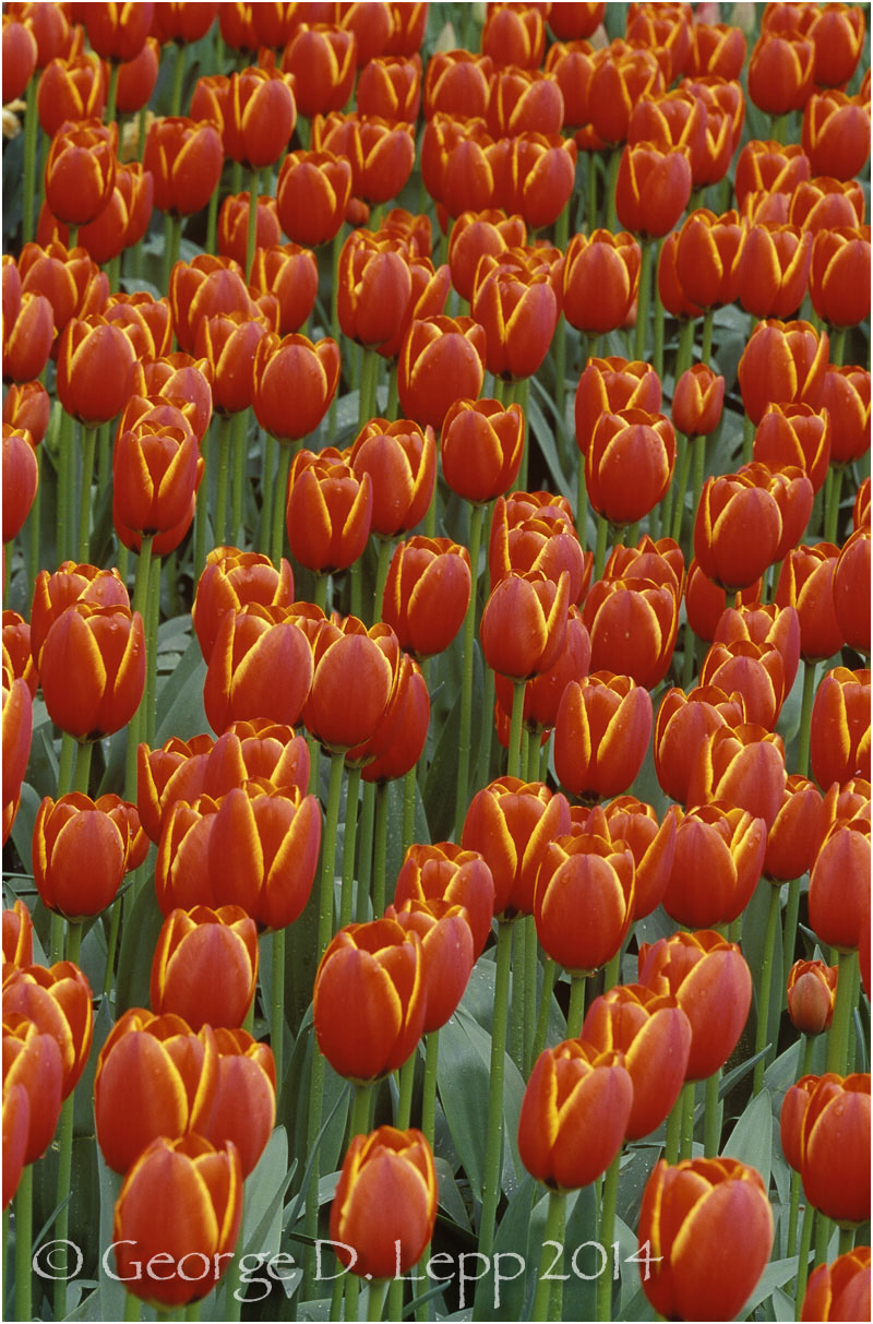 Tulips, Holland. © George D. Lepp 2014  PG-TU-0065