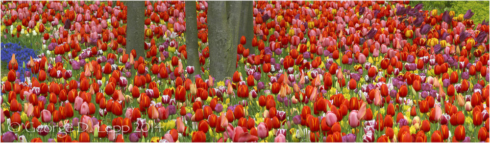 Tulips, Holland. © George D. Lepp 2014  PG-TU-0183