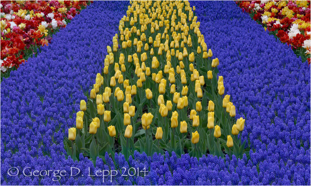 Tulips, Holland. © George D. Lepp 2014  PG-TU-0154