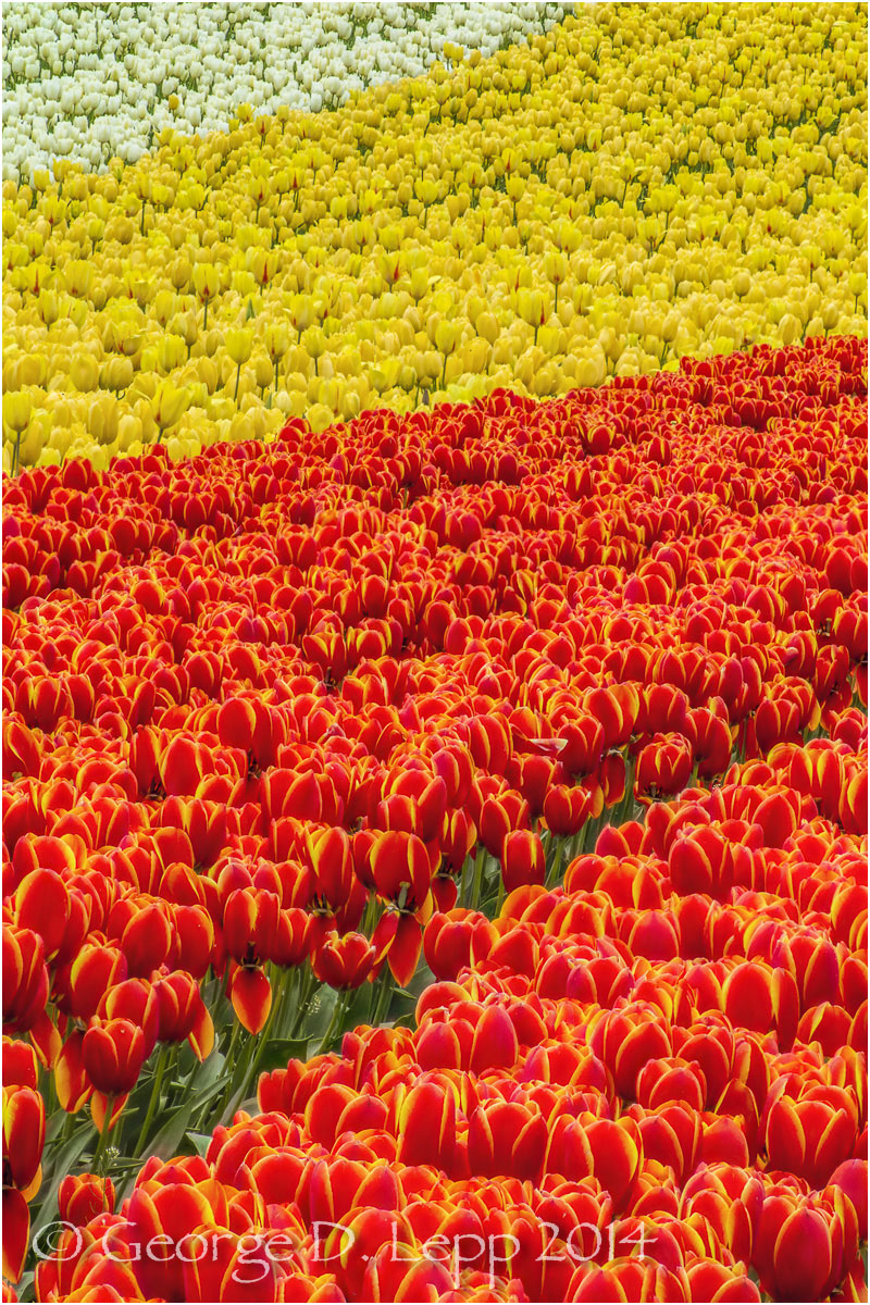 Tulips, Holland. © George D. Lepp 2014  PG-TU-0318