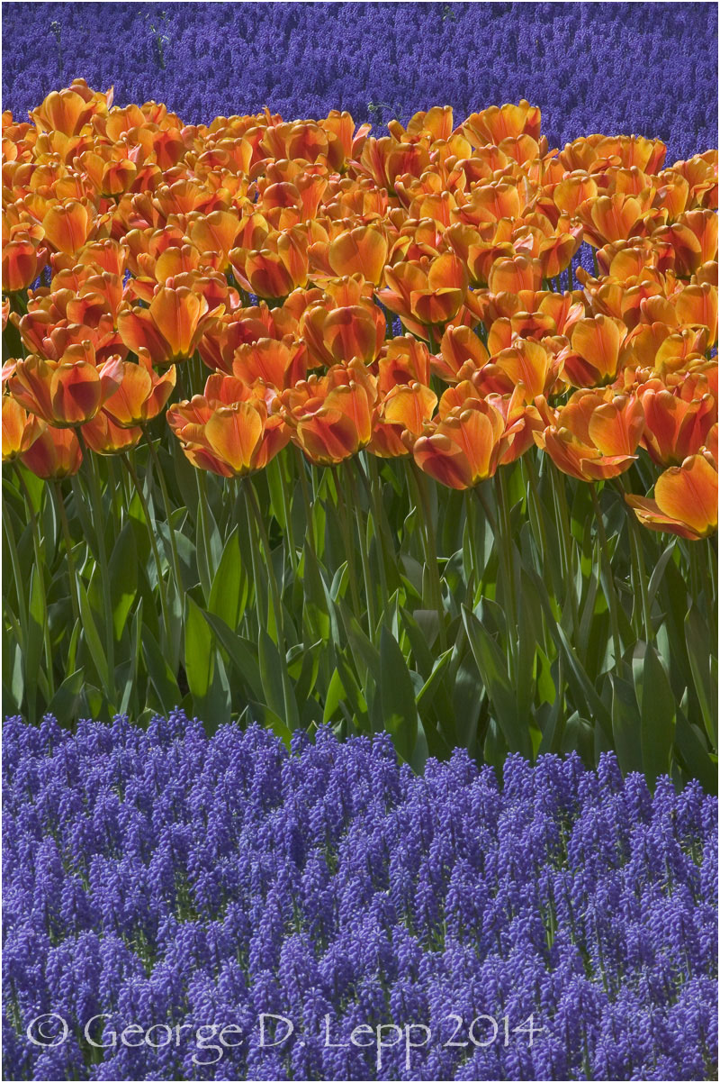 Tulips, Holland. © George D. Lepp 2014  PG-TU-0228