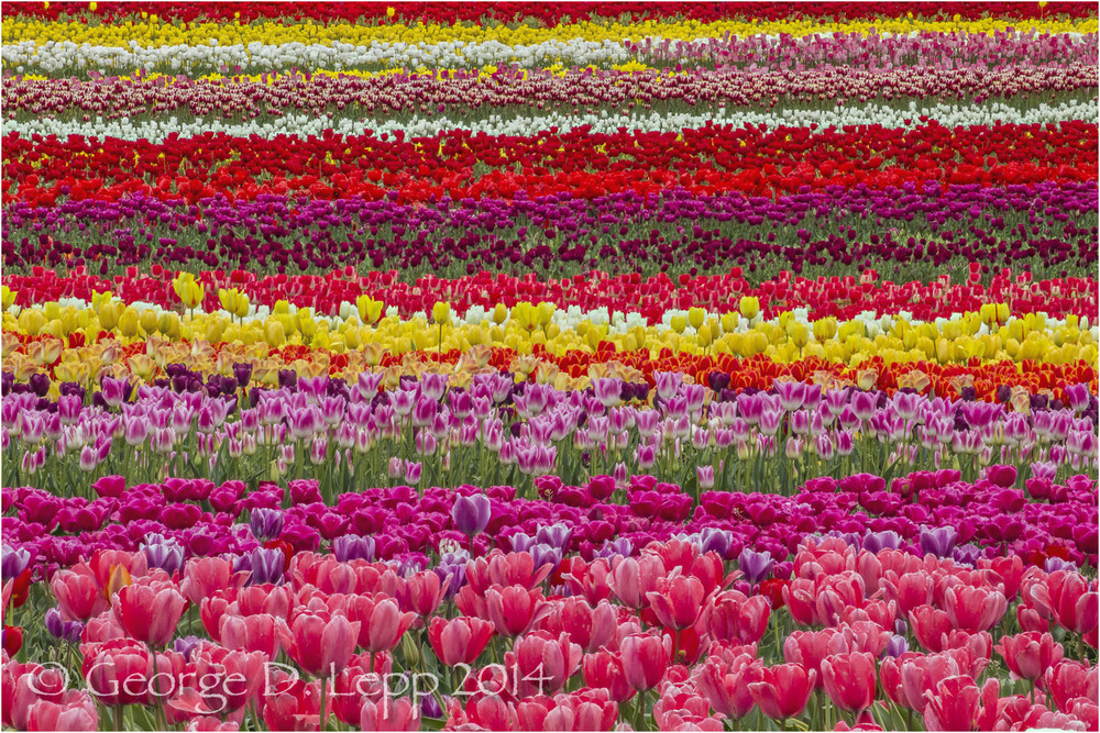 Tulips, Holland. © George D. Lepp 2014  PG-TU-0313
