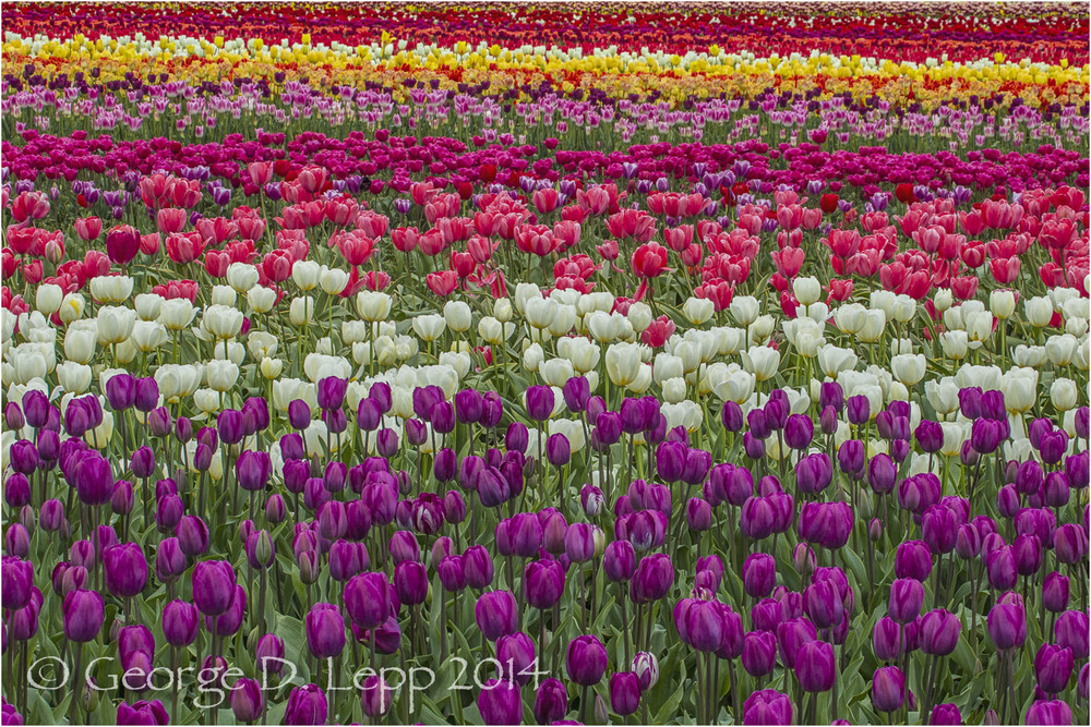 Tulips, Holland. © George D. Lepp 2014  PG-TU-0323