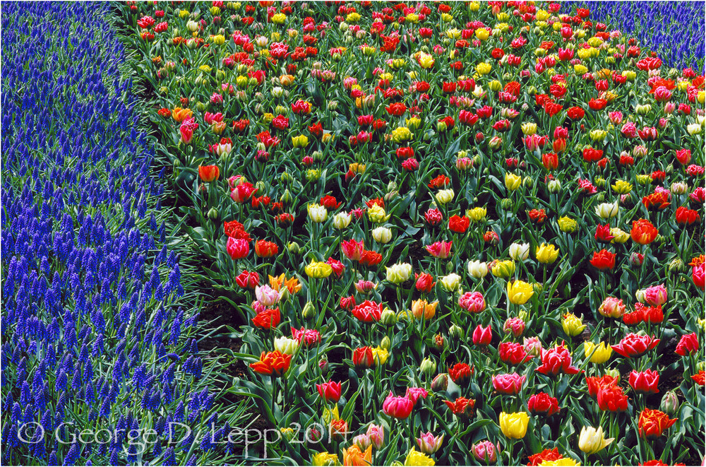 Tulips, Holland. © George D. Lepp 2014  PG-TU-0045