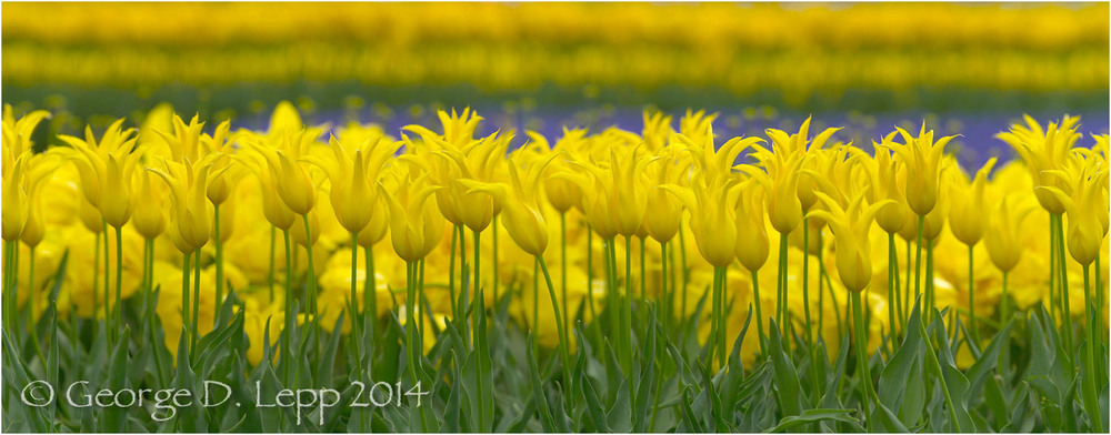 Tulips, Holland. © George D. Lepp 2014  PG-TU-0096