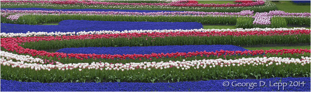 Tulips, Holland. © George D. Lepp 2014  PG-TU-0167