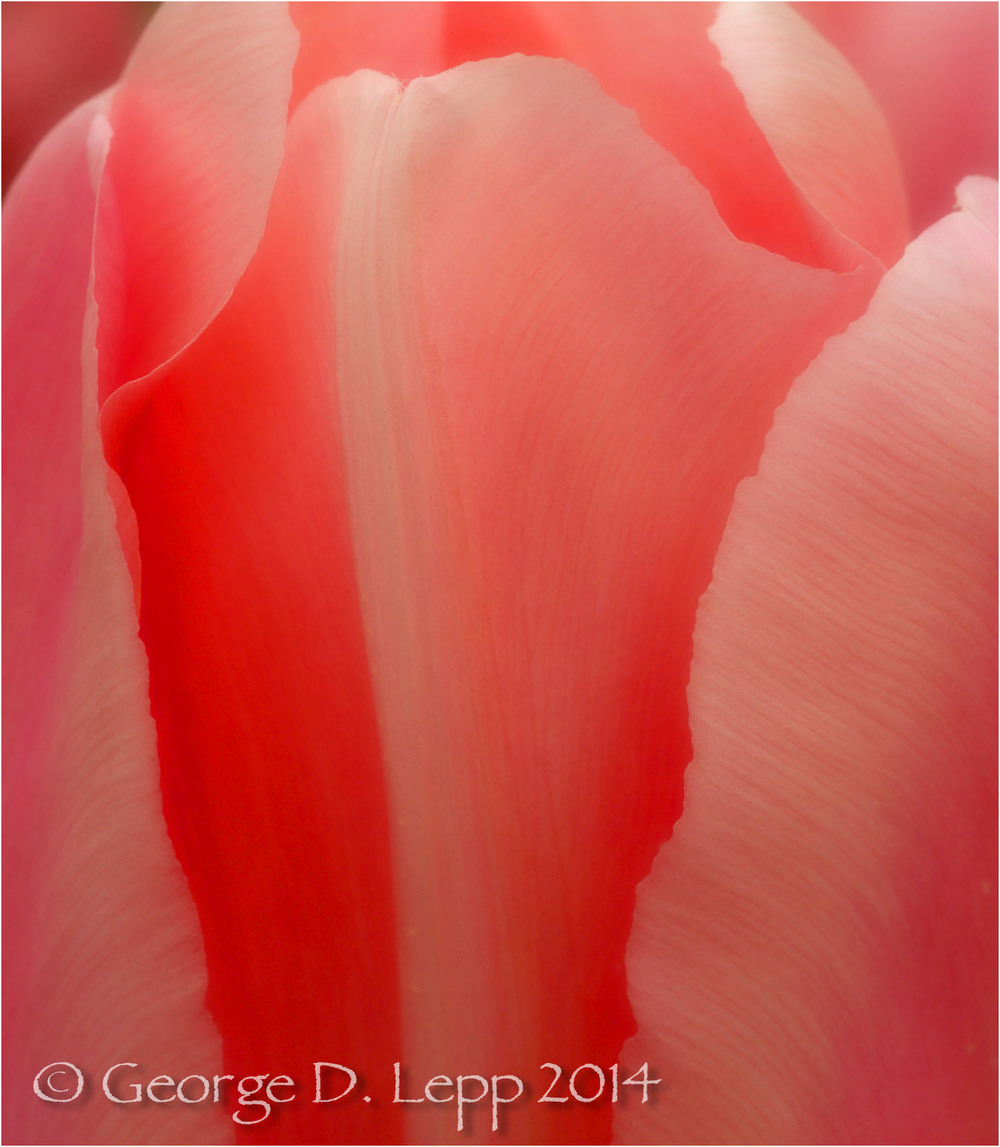 Tulips, Holland. © George D. Lepp 2014  PG-TU-0200