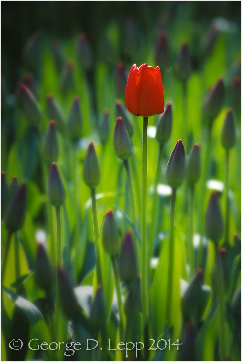 Tulips, Holland. © George D. Lepp 2014  PG-TU-0035