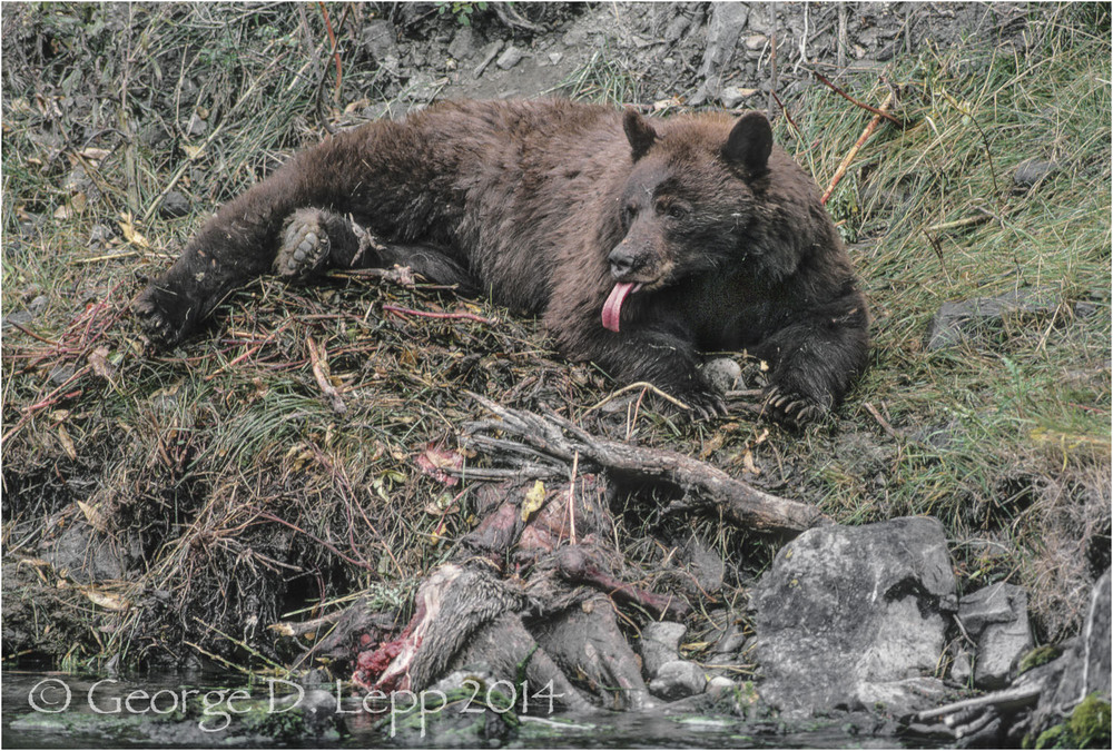 Black Bear on elk carcass, Yellowstone NP. © George D. Lepp 2014 M-BE-BL-0033