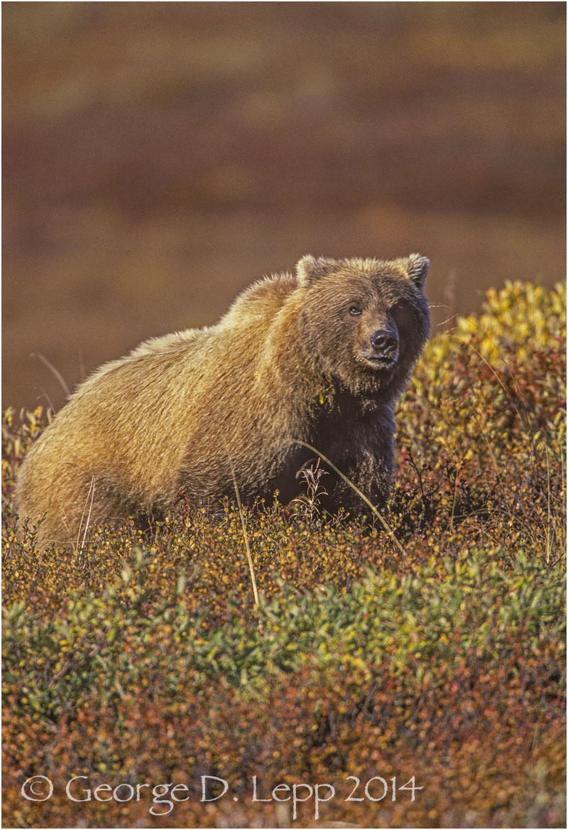 Grizzly Bear, Denali NP, Alaska. © George D. Lepp 2014  M-BE-GR-0002