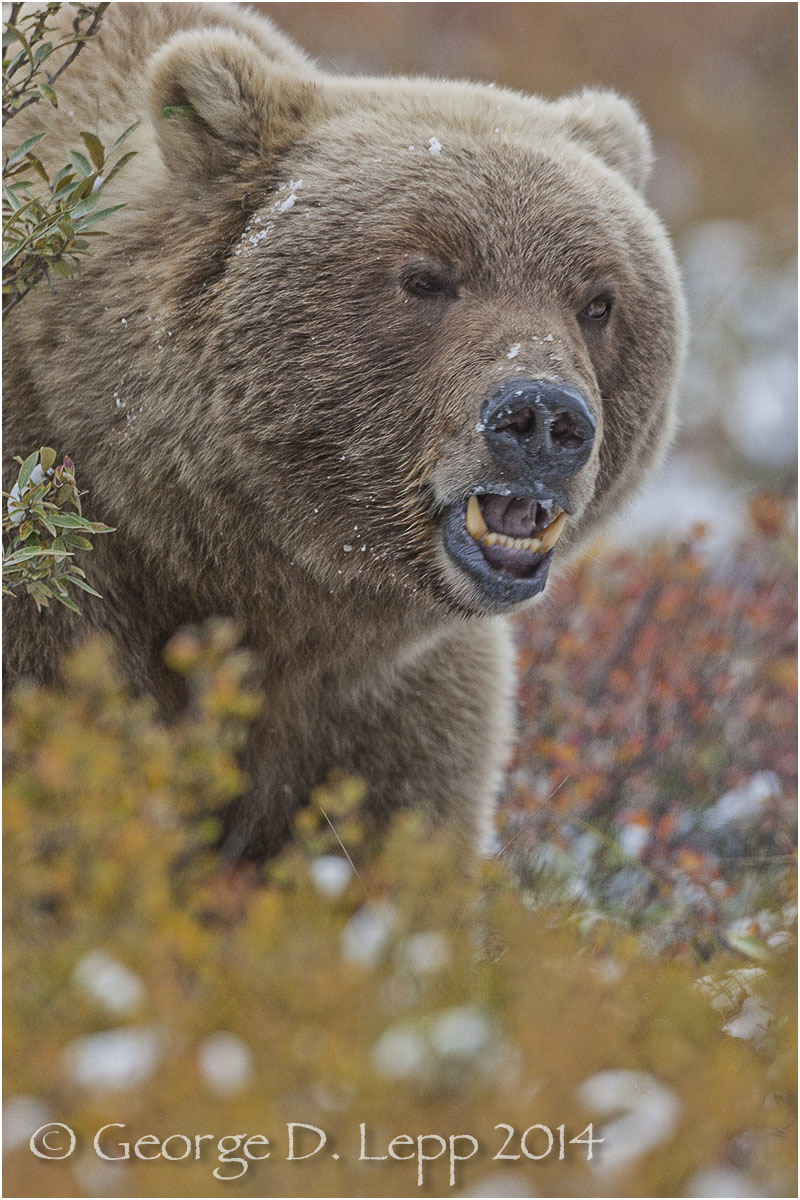 Grizzly Bear, Denali NP, Alaska. © George D. Lepp 2014  M-BE-GR-0018