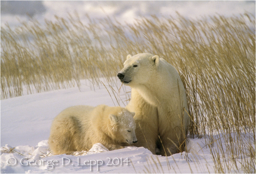 Polar Bear with cub at edge of Hudson Bay, Manitoba, Canada. © George D. Lepp 2014  M-BE-PO-0044