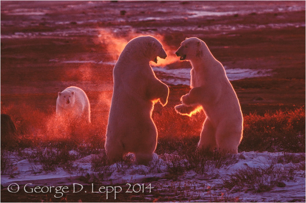 Polar Bears in play fight, Manitoba, Canada. © George D. Lepp 2014  M-BE-PO-0062