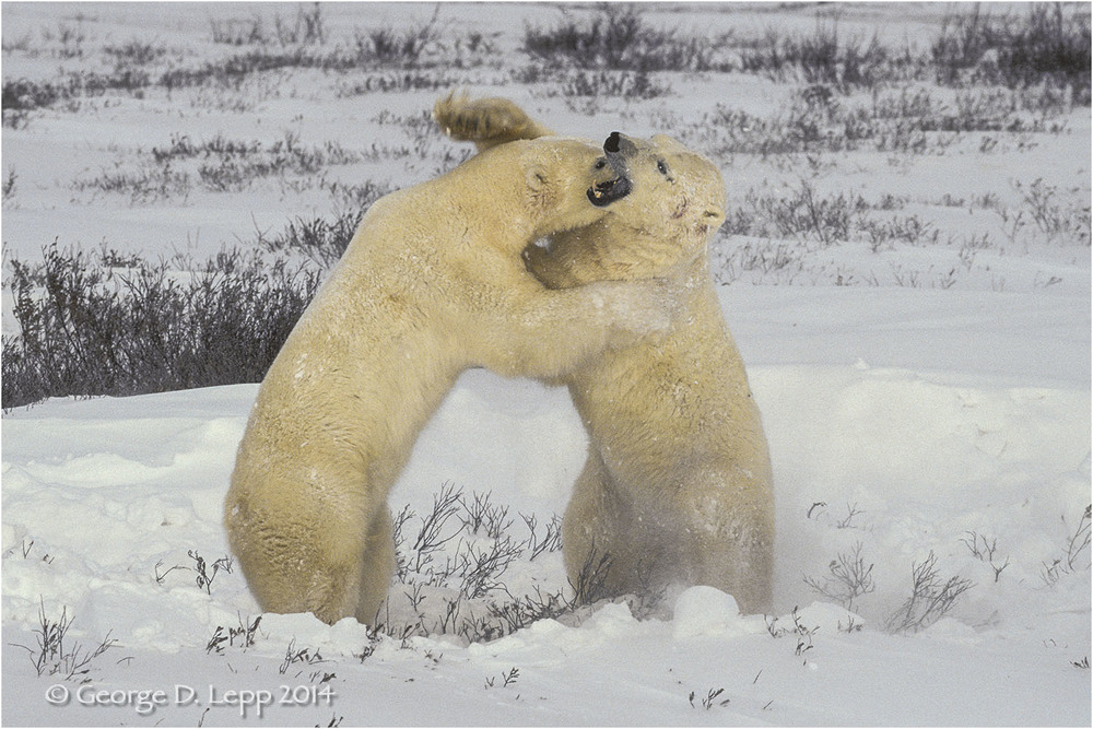 Polar Bears in play fight, Manitoba, Canada. © George D. Lepp 2014  M-BE-PO-0048