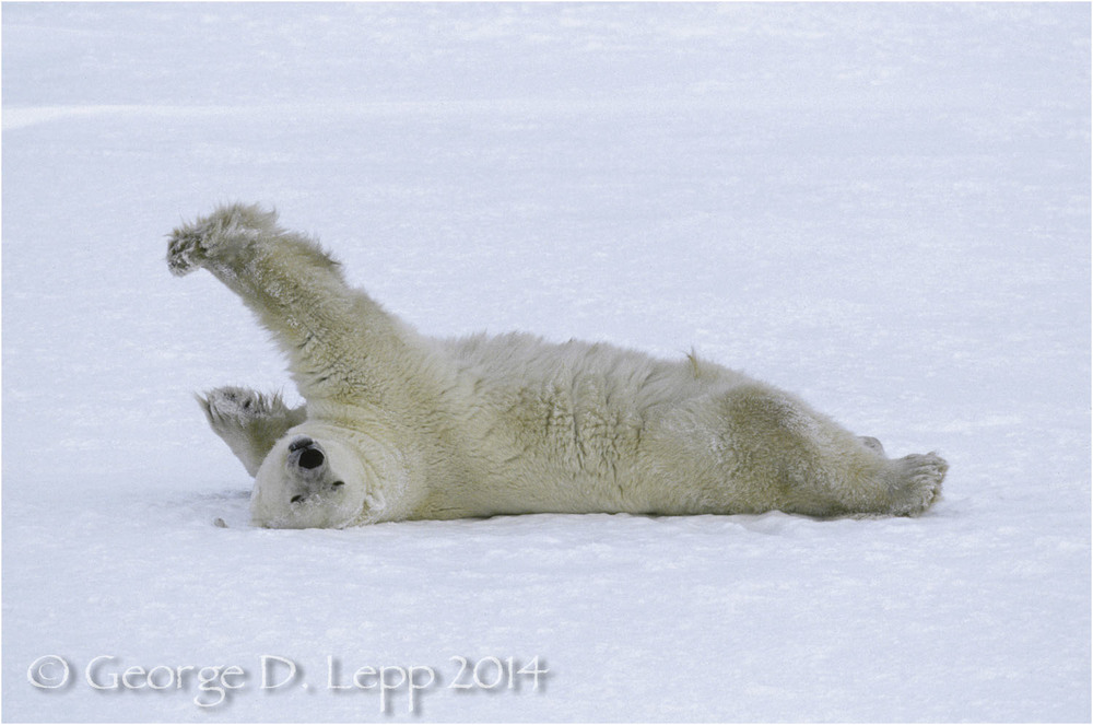 Polar Bear at edge of Hudson Bay, Manitoba, Canada. © George D. Lepp 2014  M-BE-PO-0106