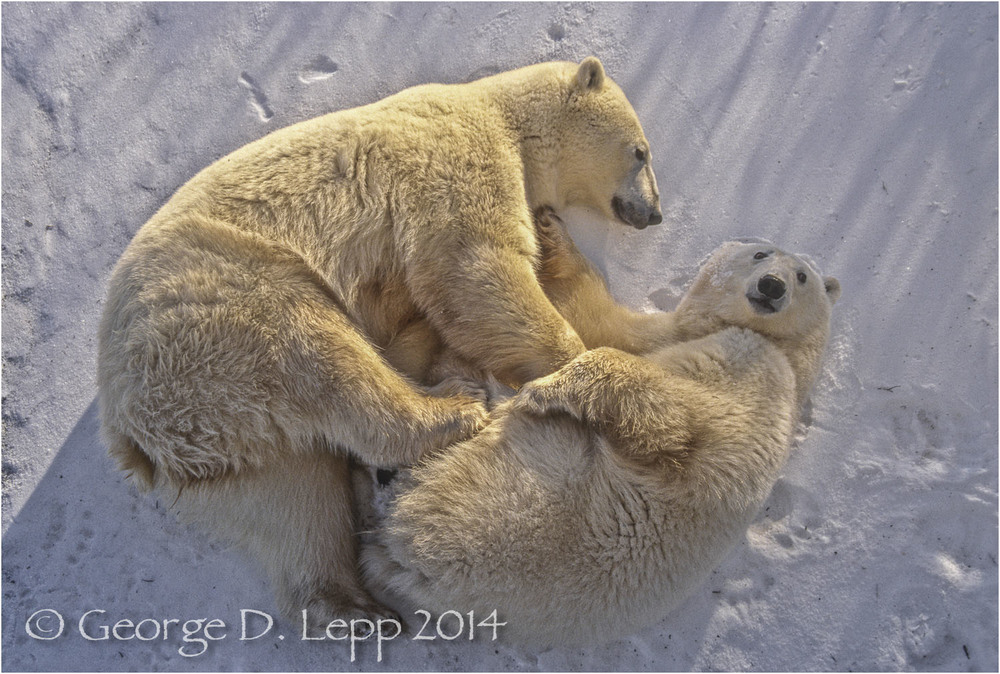 Polar Bear with cub at edge of Hudson Bay, Manitoba, Canada. © George D. Lepp 2014  M-BE-PO-0108