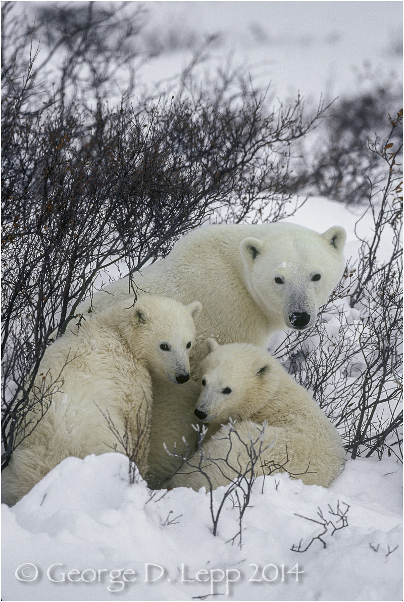 Polar Bear with two cubs at edge of Hudson Bay, Manitoba, Canada. © George D. Lepp 2014  M-BE-PO-0103