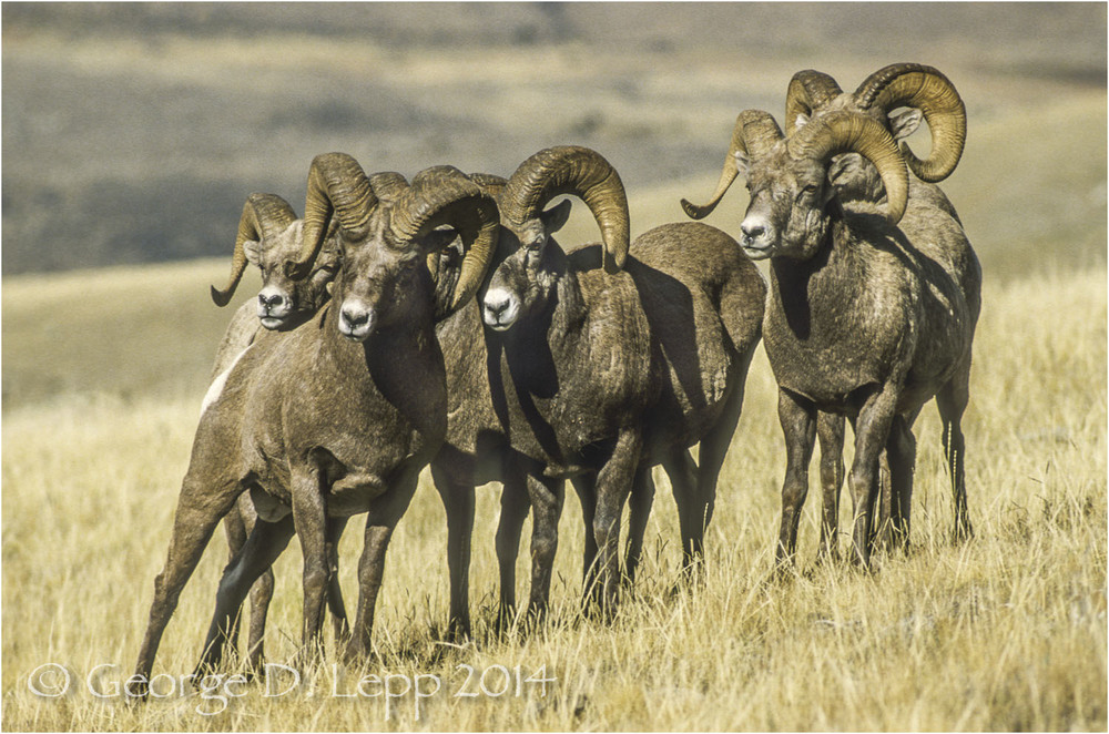 Big Horn Sheep, Yellowstone NP, Wyoming. © George D. Lepp 2014  M-SH-BH-0003