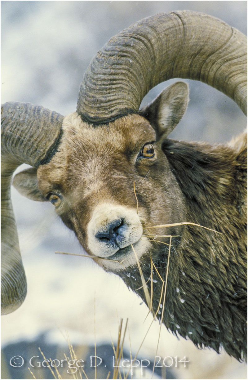 Big Horn Sheep, Yellowstone NP, Wyoming. © George D. Lepp 2014  M-SH-BH-0002