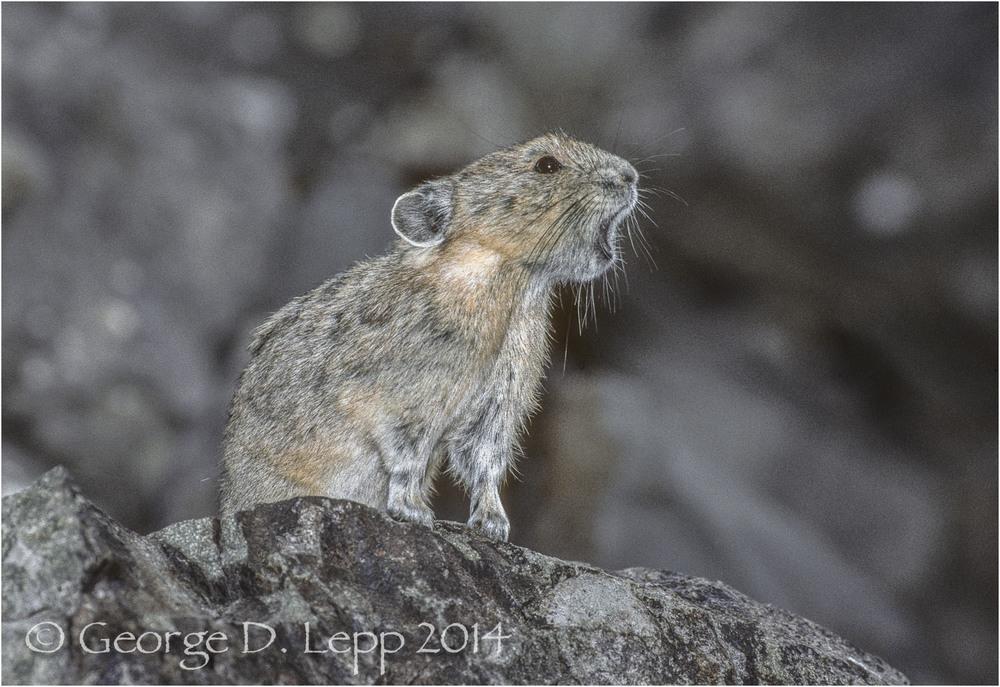 Pika, San Juan Mts., Colorado. © George D. Lepp 2014 M-PI-PI-0009