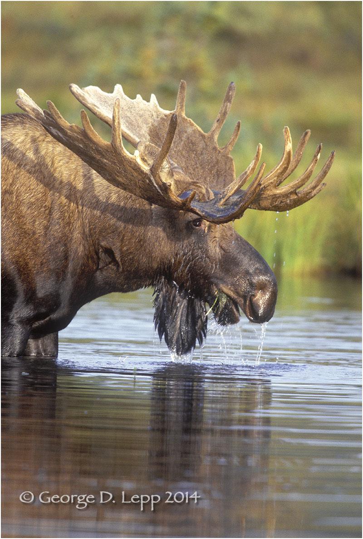 Moose, Denali NP, Alaska. © George D. Lepp 2014 M-MS-0007