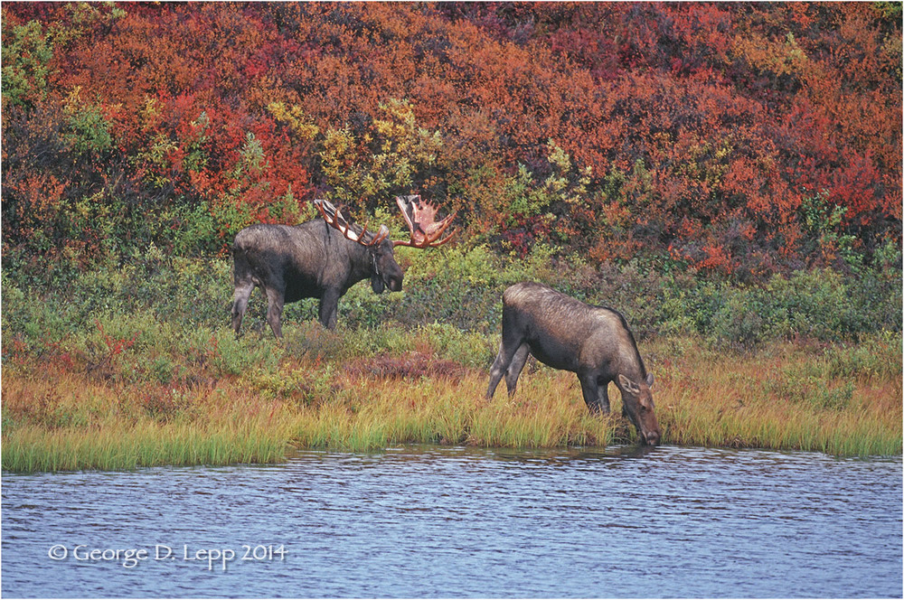 Moose, Denali NP, Alaska. © George D. Lepp 2014 M-MS-0013
