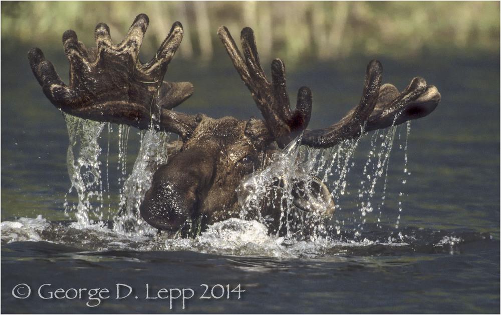 Moose, Denali NP, Alaska. © George D. Lepp 2014 M-MS-0011